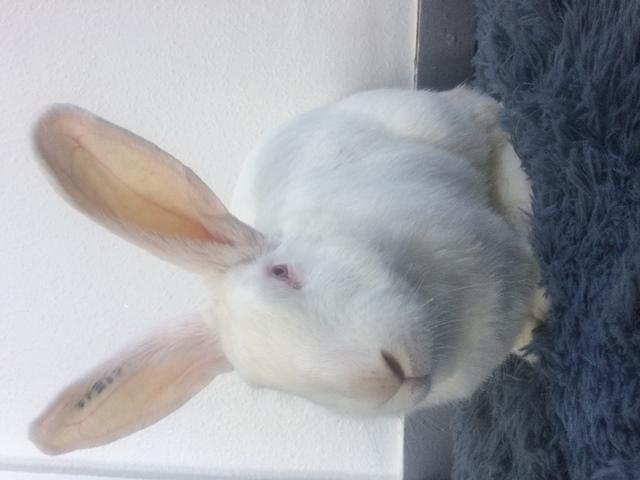 [A PARRAINER] Vanille, lapine réhabilitée de laboratoire Vanill10