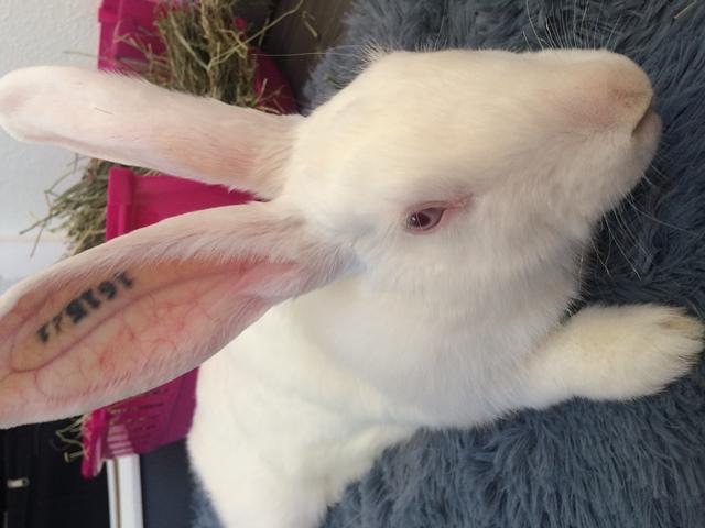 [A PARRAINER] Vanille, lapine réhabilitée de laboratoire Vanill11