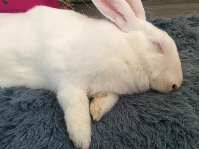 [A PARRAINER] Vanille, lapine réhabilitée de laboratoire Vanill12