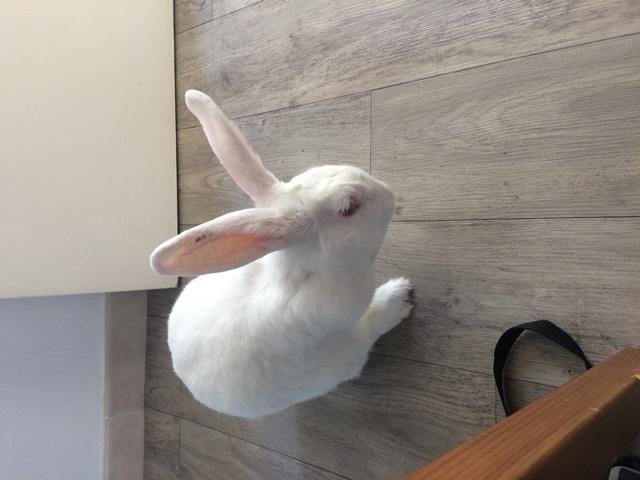 [A PARRAINER] Vanille, lapine réhabilitée de laboratoire Vanill13