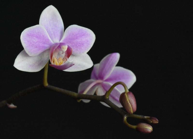 Phalaenopsis sanderiana x equestris (Hebe) 1_kopi12