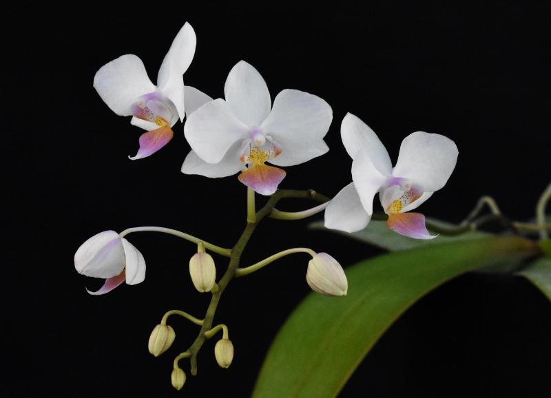 Phalaenopsis sanderiana x equestris (Hebe) A11