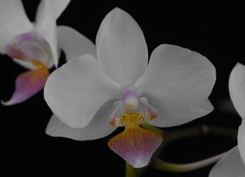 Phalaenopsis sanderiana x equestris (Hebe) A_111