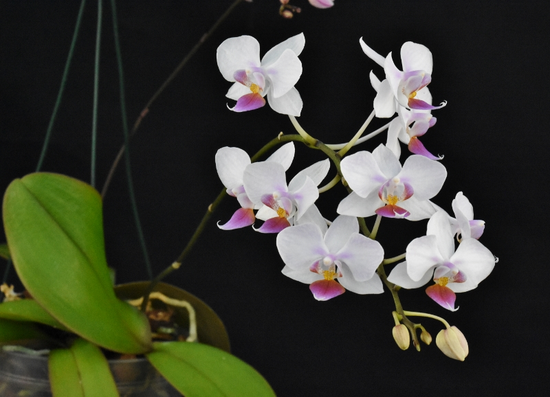 Phalaenopsis sanderiana x equestris (Hebe) B10