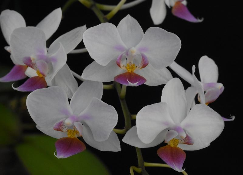 Phalaenopsis sanderiana x equestris (Hebe) B_111
