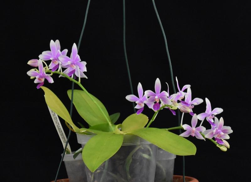 Asymbiotische  Vermehrung von Phalaenopsis und anderen epiphytischen Orchideen. Erfahrungen und Erfolge. - Seite 27 Dsc_1110