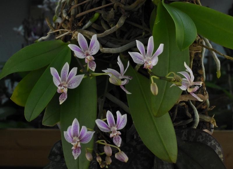 Phalaenopsis equestris x finleyi (Donna's Delight ) - Seite 2 Dsc_6313