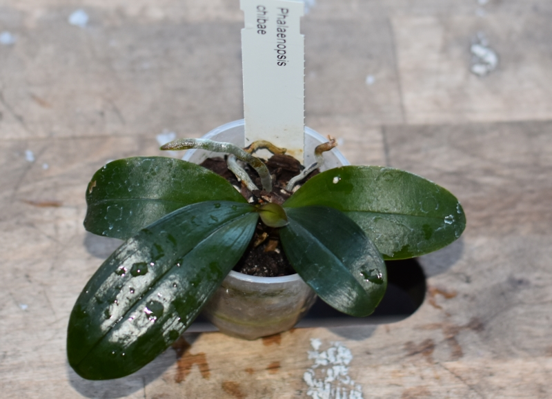 Orchideen-Neuzugang 2 - Seite 15 Dsc_8024