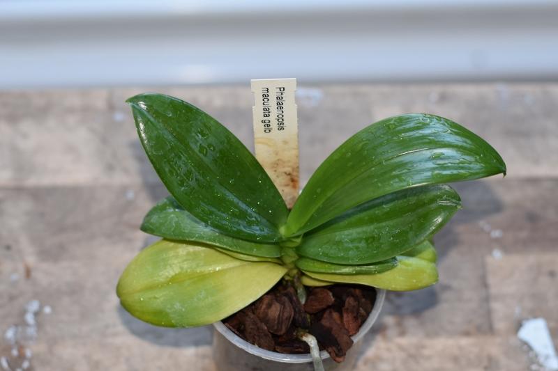 Orchideen-Neuzugang 2 - Seite 15 Dsc_8027