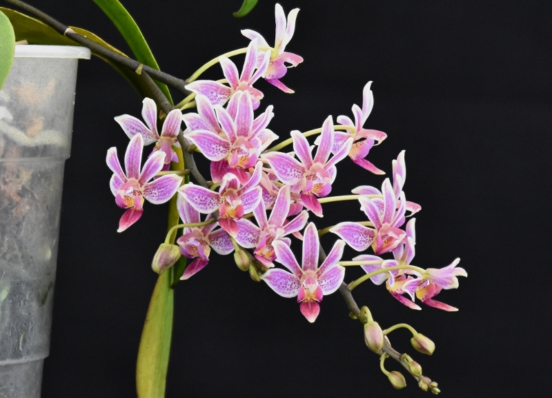 Phalaenopsis equestris x finleyi (Donna's Delight ) - Seite 5 Equest11