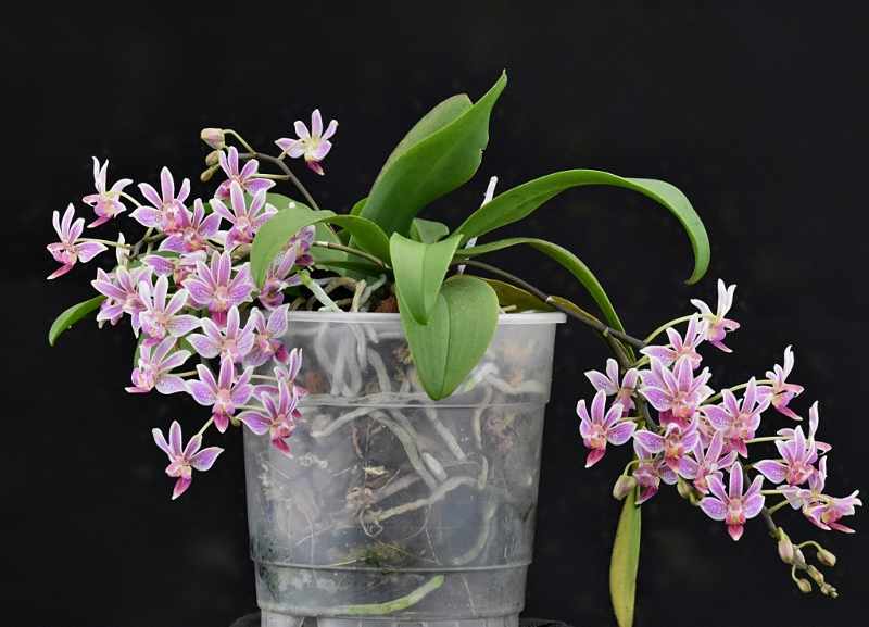 Phalaenopsis equestris x finleyi (Donna's Delight ) - Seite 5 Equest12