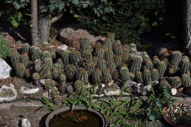 Kakteen Bilder 2 - Seite 12 Kaktus16
