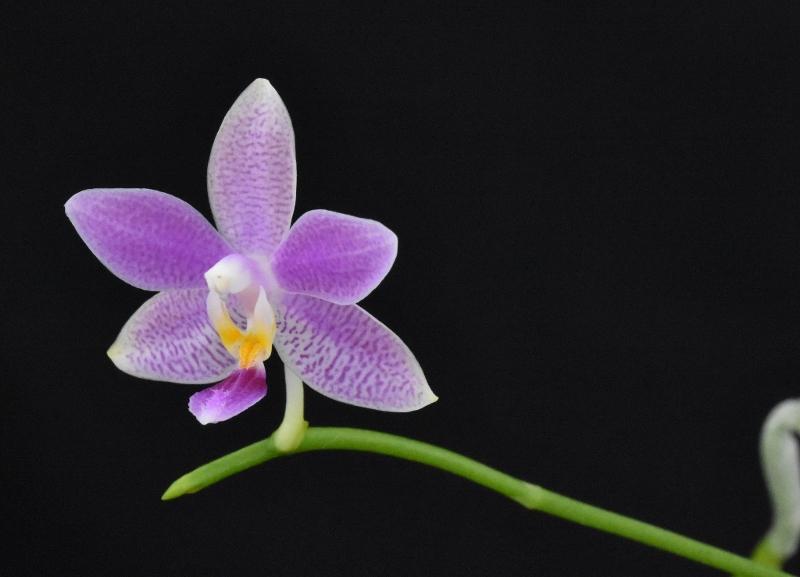 Phalaenopsis speciosa x equestris (Hiroshima Tetratris) Klein11