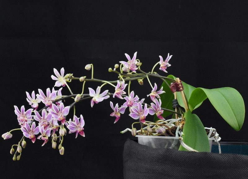 Phalaenopsis equestris x finleyi (Donna's Delight ) - Seite 2 Nr_23411