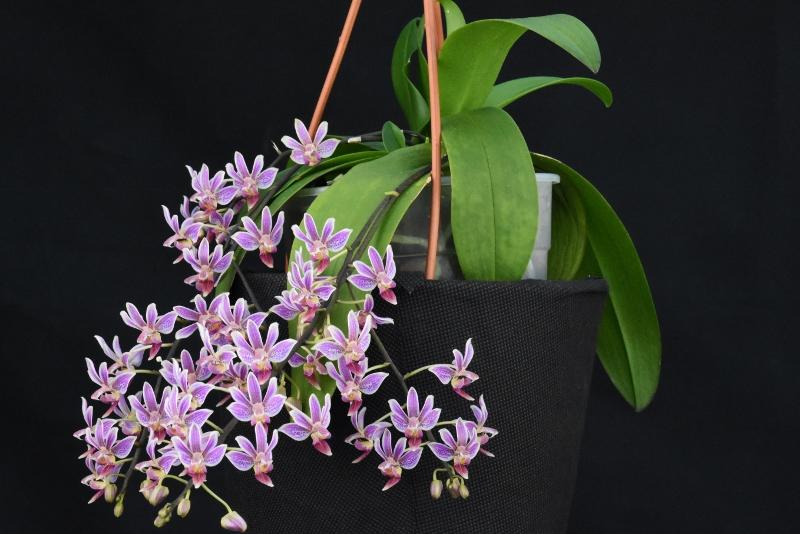 Phalaenopsis equestris x finleyi (Donna's Delight ) - Seite 4 Nr_23413