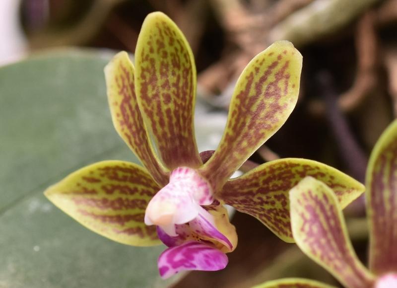 Phalaenopsis braceana x finleyi (Lea Mini) Nr_29613