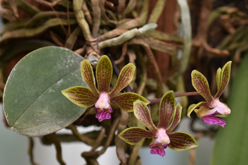 Phalaenopsis braceana x finleyi (Lea Mini) Nr_29614
