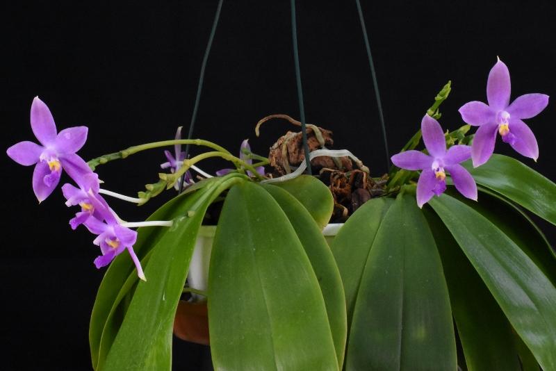 Phalaenopsis tetraspis x violacea (Jennifer Palermo) oder Phal. speciosa x violacea (Germaine Vincent) - Seite 4 Nr_44210