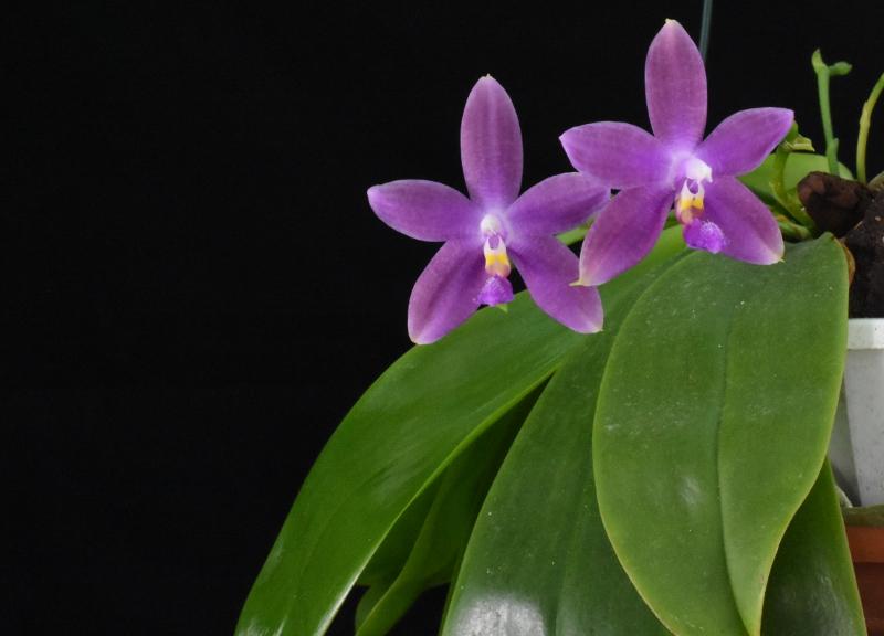 Phalaenopsis tetraspis x violacea (Jennifer Palermo) oder Phal. speciosa x violacea (Germaine Vincent) - Seite 4 Nr_44211
