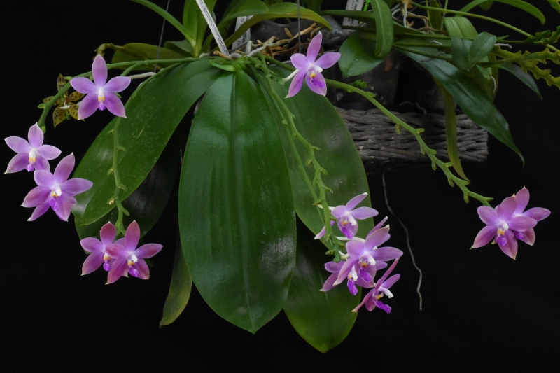 Phalaenopsis tetraspis x violacea (Jennifer Palermo) oder Phal. speciosa x violacea (Germaine Vincent) - Seite 4 Nr_45610
