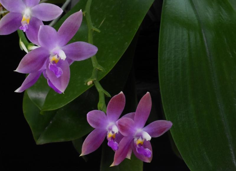 Phalaenopsis tetraspis x violacea (Jennifer Palermo) oder Phal. speciosa x violacea (Germaine Vincent) - Seite 4 Nr_45611