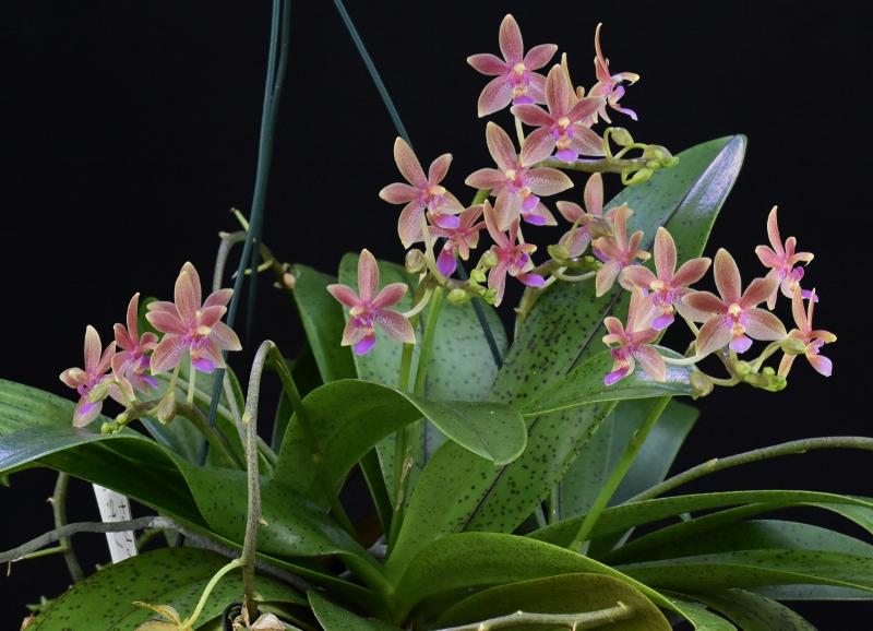 Phalaenopsis cornu-cervi x equestris 'rosea' (Cornustris) Nr_52910