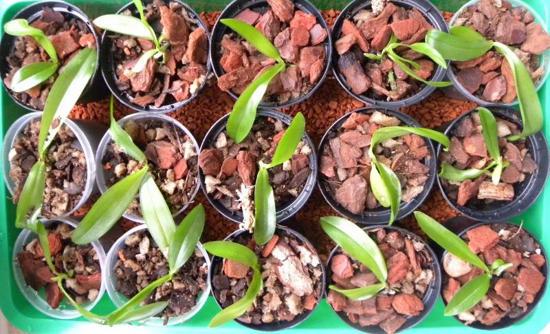 Phalaenopsis tetraspis x gigantea (Gentleman Jack) Nr_53611