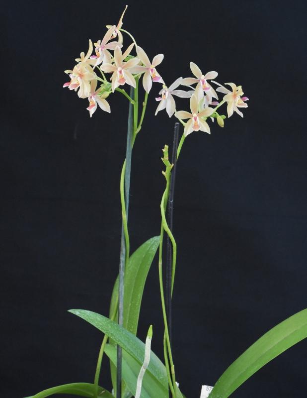 Phalaenopsis equestris x javanica (Christine Magro) Nr_57710