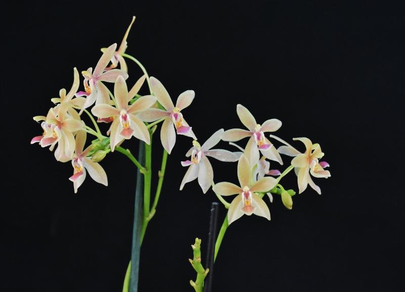 Phalaenopsis equestris x javanica (Christine Magro) Nr_57712