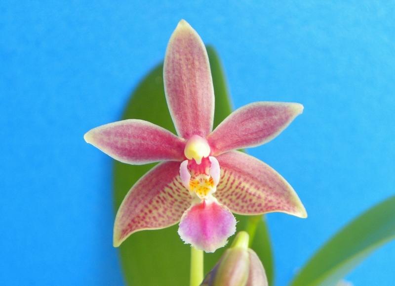Phalaenopsis mannii X equestris (Linda Cheok) Nr_64810