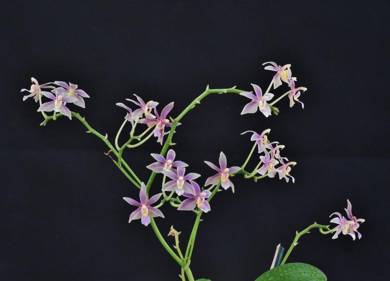 Phalaenopsis mannii X equestris (Linda Cheok) Nr_64813