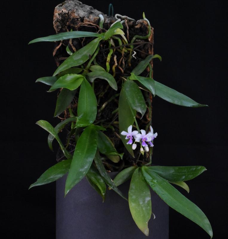 Phalaenopsis equestris x deliciosa (Phalaenopsis New Horizon) Nr_67010