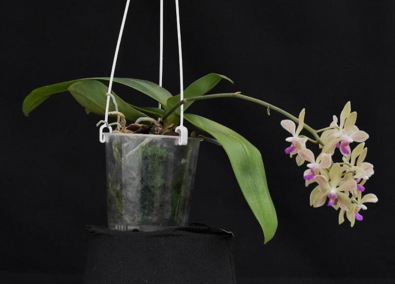 Phalaenopsis wilsonii x doweryensis Phala117