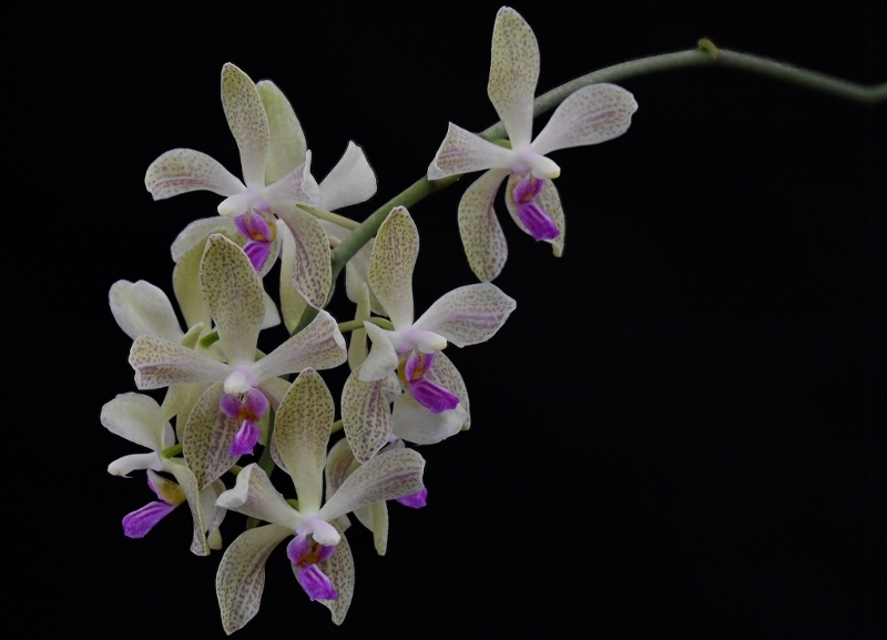 Phalaenopsis wilsonii x doweryensis Phala118