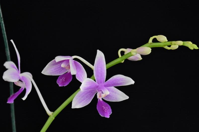 Phalaenopsis fimbriata x equestris (Borobudur) Phala121