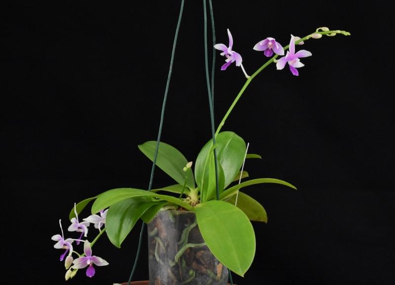 Phalaenopsis fimbriata x equestris (Borobudur) Phala122