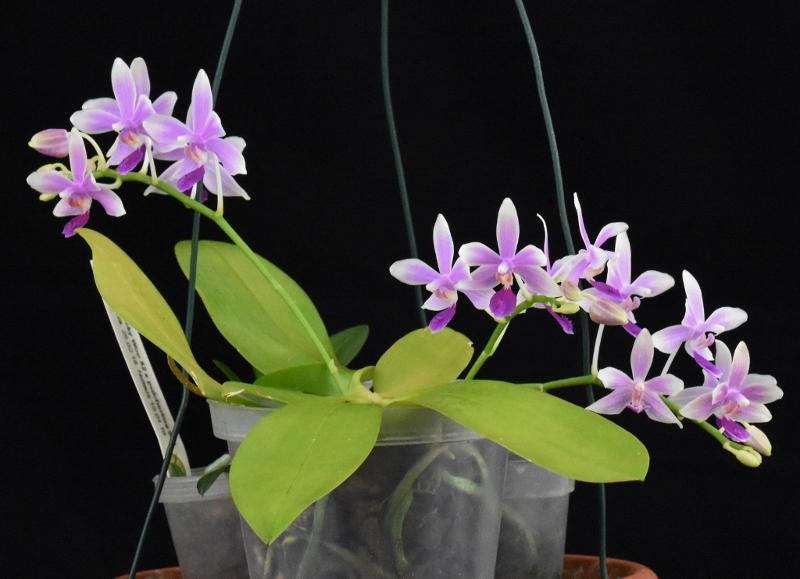 Phalaenopsis fimbriata x equestris (Borobudur) Phala123