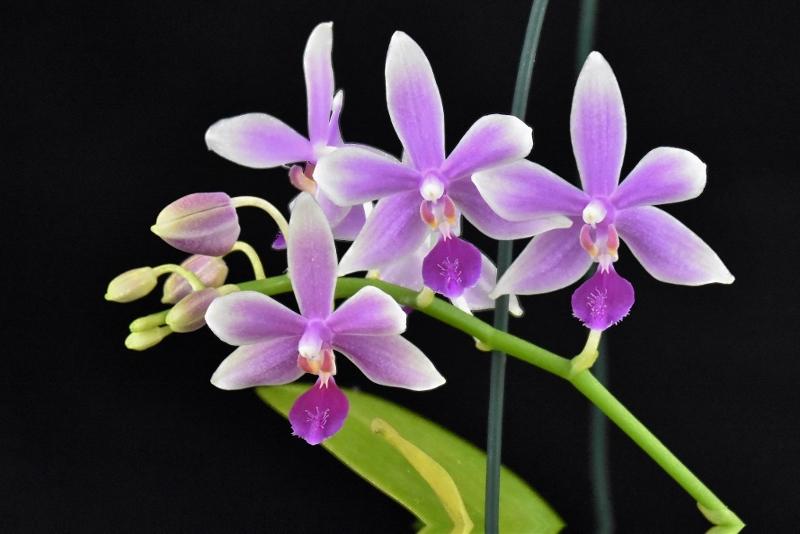 Phalaenopsis fimbriata x equestris (Borobudur) Phala124