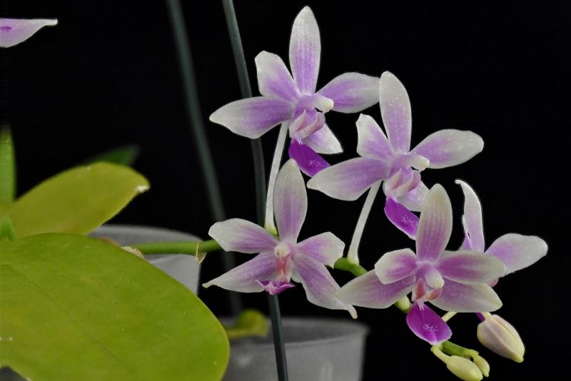 Phalaenopsis fimbriata x equestris (Borobudur) Phala125