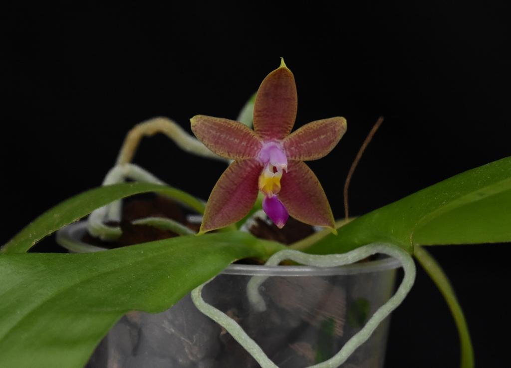 Phalaenopsis violacea x amboinensis (Princess Kaiulani)  - Seite 2 Phala127