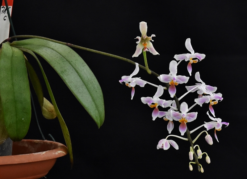 Phalaenopsis celebensis x equestris (Silbergrube) Phala128