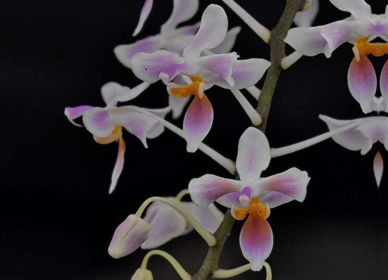 Phalaenopsis celebensis x equestris (Silbergrube) Phala129