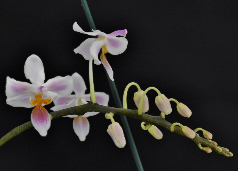 Phalaenopsis celebensis x equestris (Silbergrube) Phala130