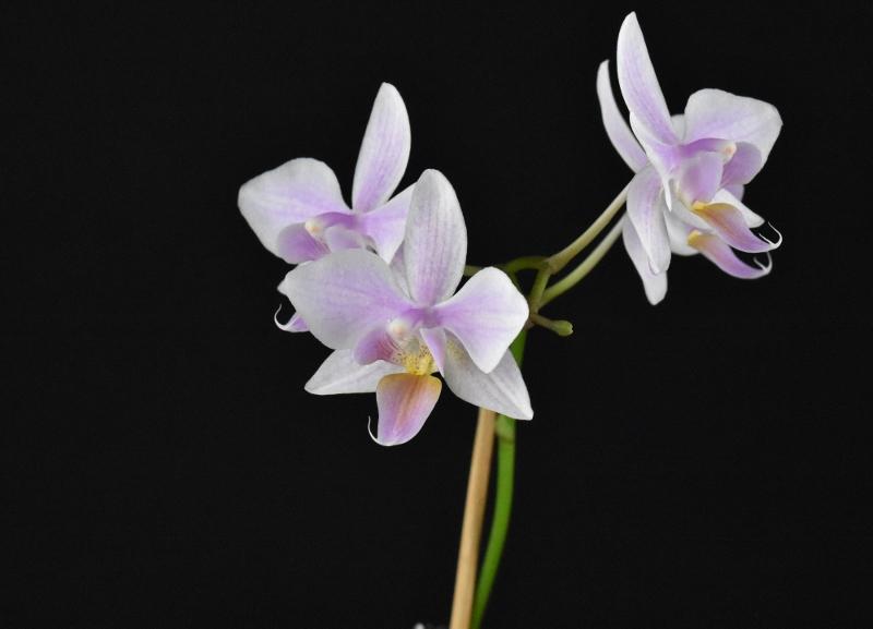 Phalaenopsis aphrodite x equestris (Intermedia) Phala147