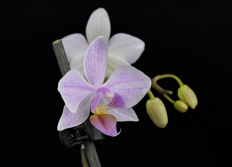 Phalaenopsis aphrodite x equestris (Intermedia) Phala148