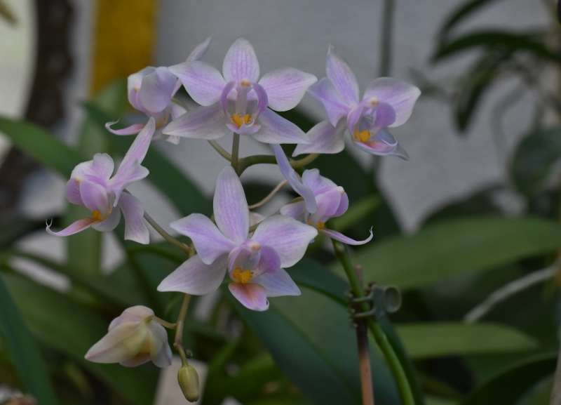 Phalaenopsis aphrodite x equestris (Intermedia) Phala149