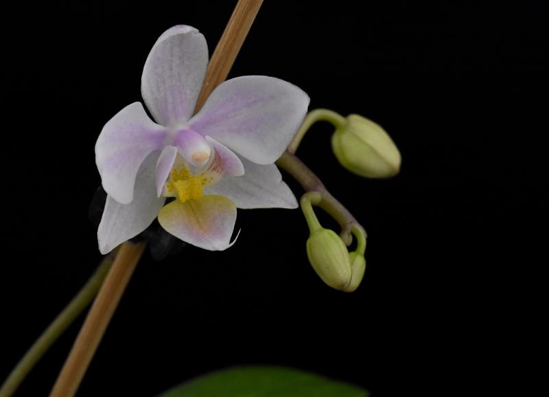 Phalaenopsis aphrodite x equestris (Intermedia) Phala150