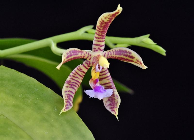 Phalaenopsis mannii x fimbriata (Mambriata)  Phala153