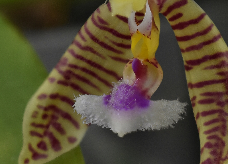 Phalaenopsis mannii x fimbriata (Mambriata)  Phala154