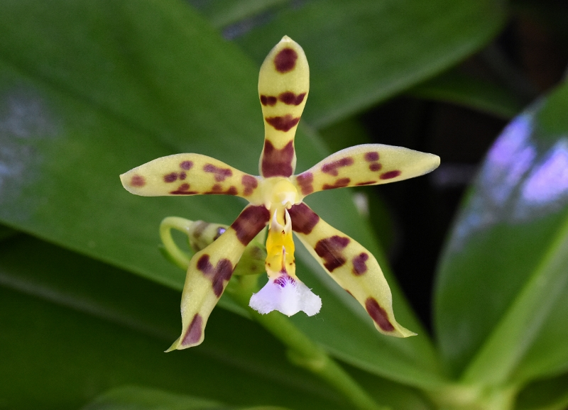 Phalaenopsis mannii x micholitzii (Margie Lane) Phala161